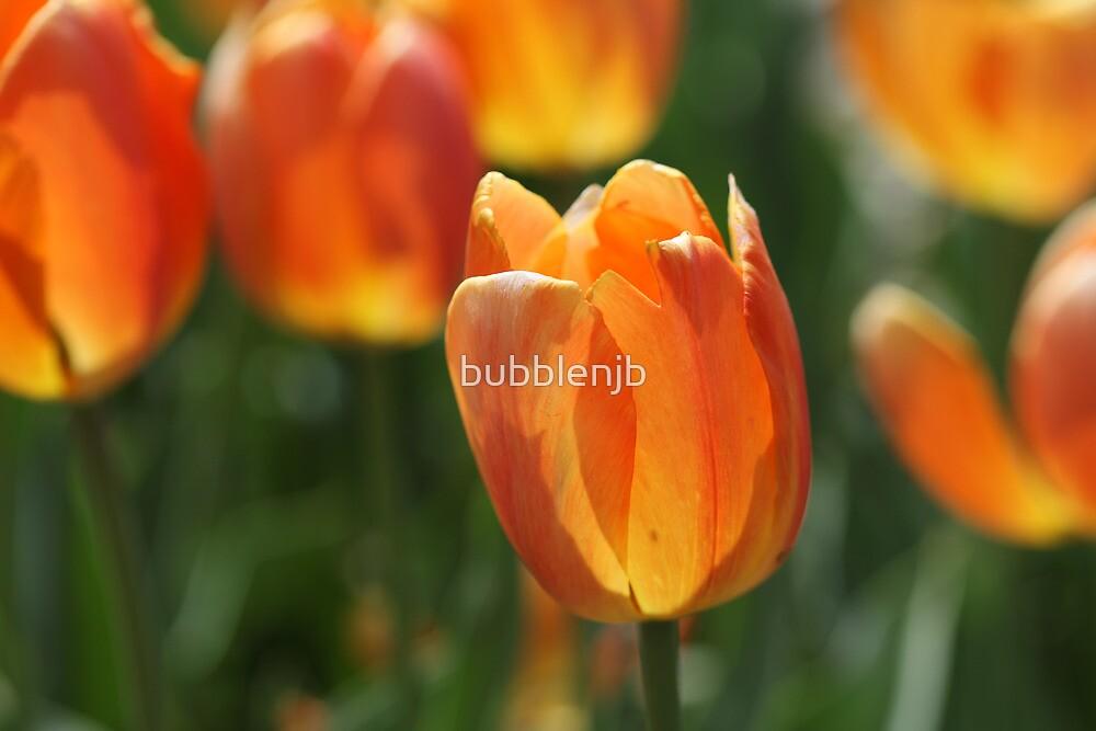 Orange yellow tulips by bubblenjb