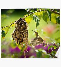 Nesting Sunbird Poster