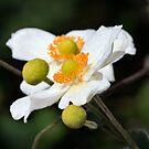 Anemone by Ann  Palframan