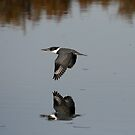 Northern Belted Kingfisher Flying Over The Water by DARRIN ALDRIDGE