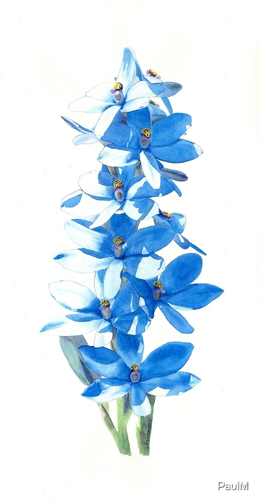 Blue Lady Orchid (Thelymitra crinita) by PaulM