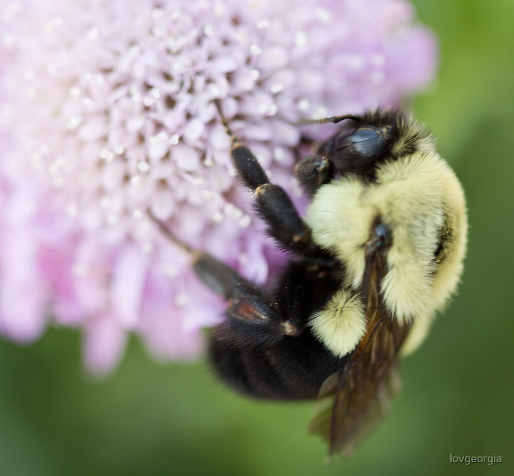 Bumble Bee close up by Brenda  Meeks