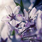 Cherry Blossom by Zohar Lindenbaum
