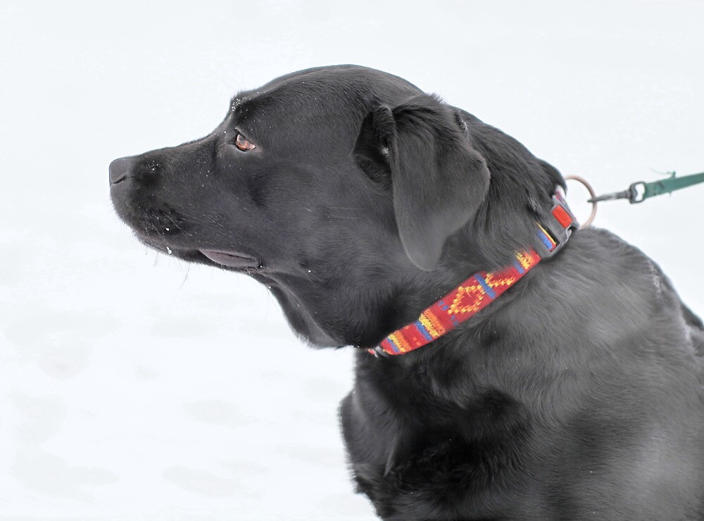 black Labrador by mrivserg