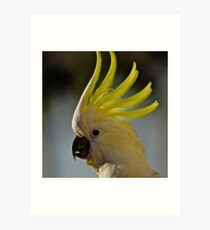 Australian Sulphur Crested Cockatoo #4. Art Print