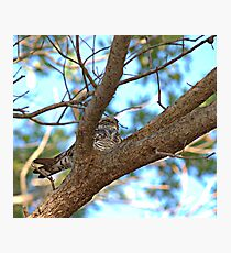 Bird Nap (Whip-poor-will) Photographic Print