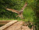 Giant eagle owl by Explorations Africa Dan MacKenzie