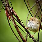 Brown Thornbill by Dilshara Hill
