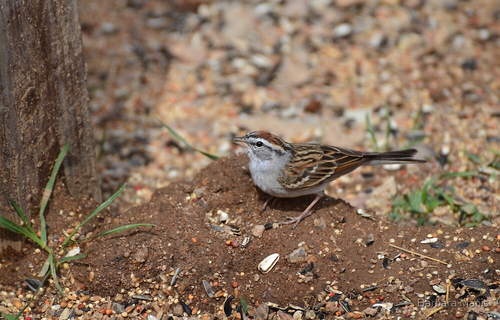 Chipping Sparrow by Barbara Manis
