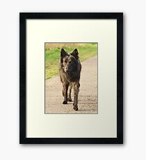 Beike a Dutch Sheperd Framed Print
