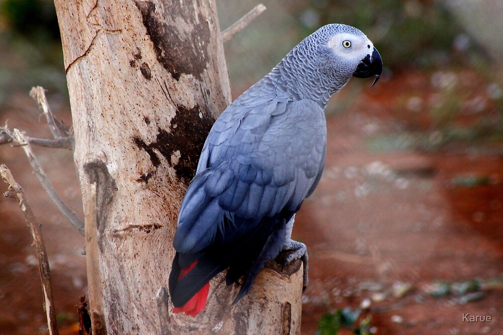 African Gray Parrot by Karue