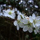 Blackthorn  blossom by Joyce Knorz