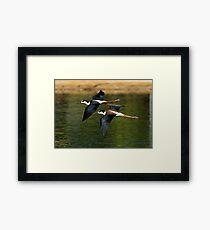 Black Necked Stilts Framed Print