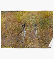 Bush Kangaroos Poster