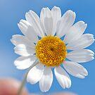 Daisy in the sky by Alexandr Zadiraka