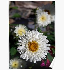 Daisies in Pisang Poster