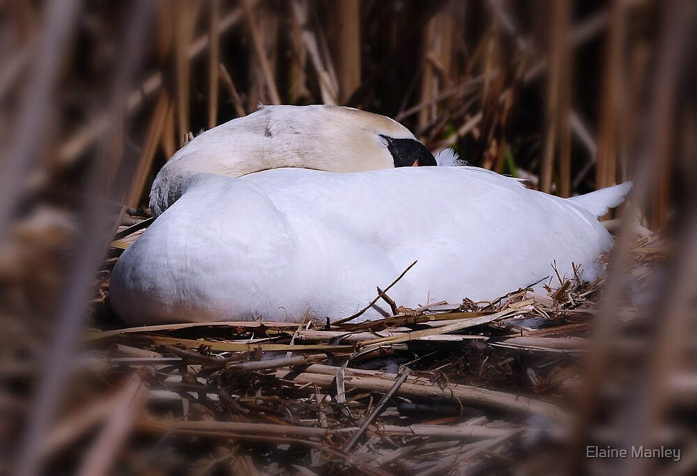 Oh No , Mama Swan ..its a bad place to nest !  by Elaine  Manley