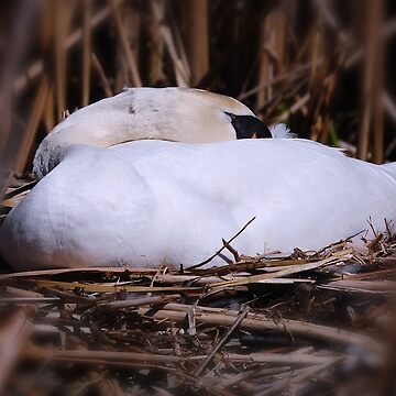 Oh No , Mama Swan ..its a bad place to nest !  by Lucindawind