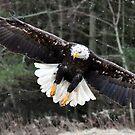 Bald Eagle in Flight by Nancy Barrett