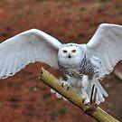 Snowy Wings by Nancy Barrett