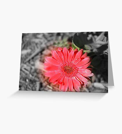 Gerber Daisy Greeting Card