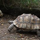 Leopard Tortoise: Watch out Mr. Hare ! by Carole-Anne