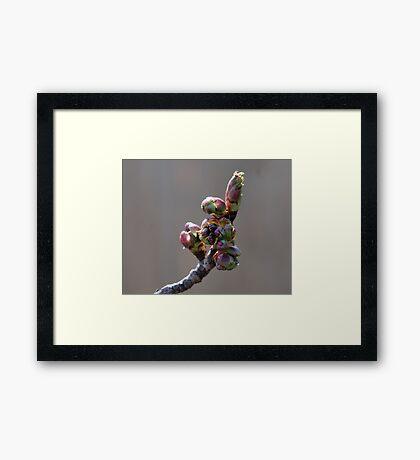 Cherry Blossom #1 Framed Print
