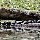 Turtles In A Row by KRincker