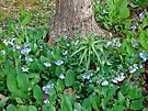 Skirting the Dogwood - Virginia Bluebells - Mertensia virginica by MotherNature
