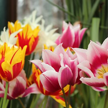 Tulips are the Symbol of Summer by adamredshaw