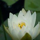 Waterlily by SpiritFox
