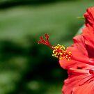 Hibiscus by guppyman