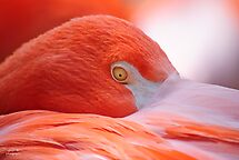 Tucked In Flamingo by Diego Re