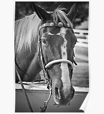 Equus Ferus Caballus Poster