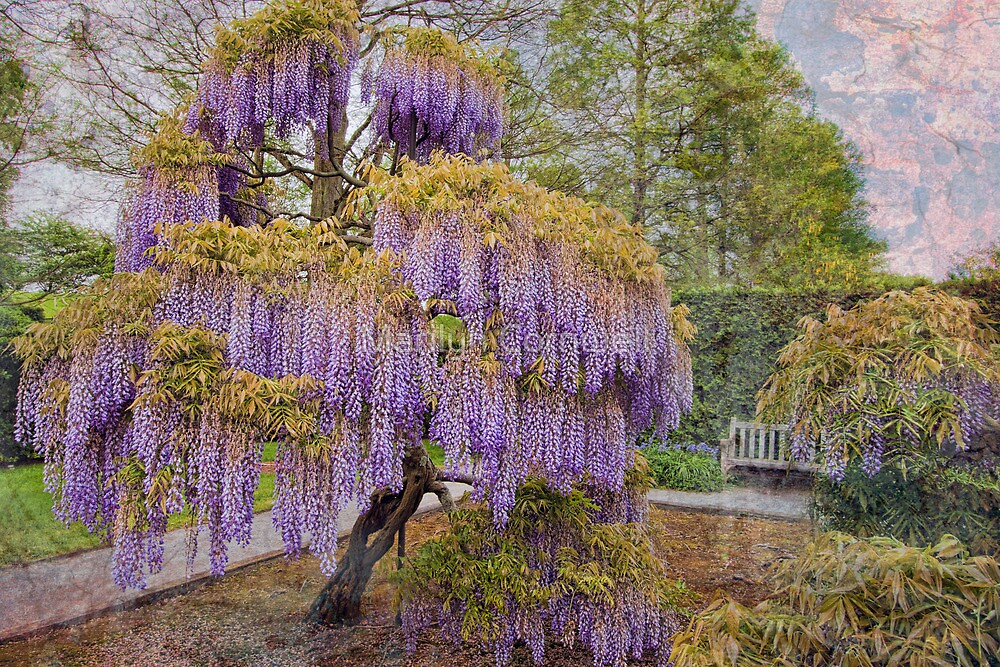 """Wisteria Tree"" by Marilyn Cornwell 