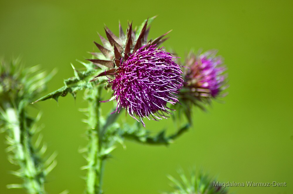 Thistle flower by Magdalena Warmuz-Dent