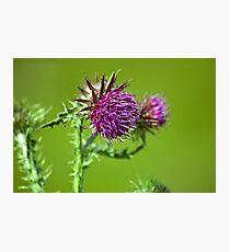 Thistle flower Photographic Print