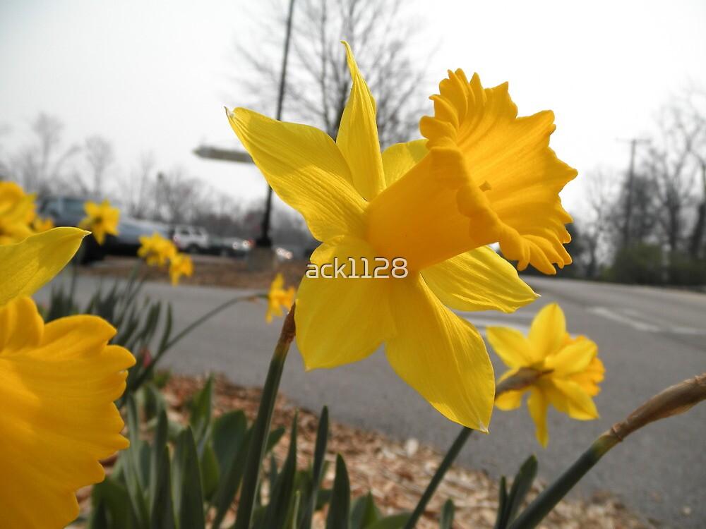 Daffodil by ack1128
