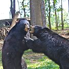 Black Bears Fighting by clmustin