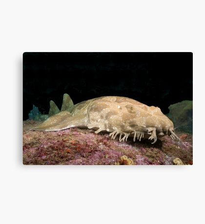 Spotted Wobbegong at the entrance to Sydney Harbour Canvas Print