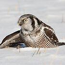 Mantling Hawk Owl by DigitallyStill