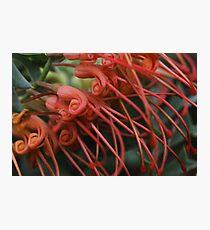 Grevillea bipinnatifida  Photographic Print