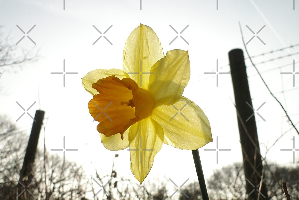 Narcissus in the Sun by Barrie Woodward