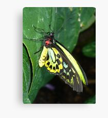Colors of the Rainbow Butterfly Canvas Print
