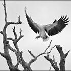 Sea Eagle  44 by John Van-Den-Broeke