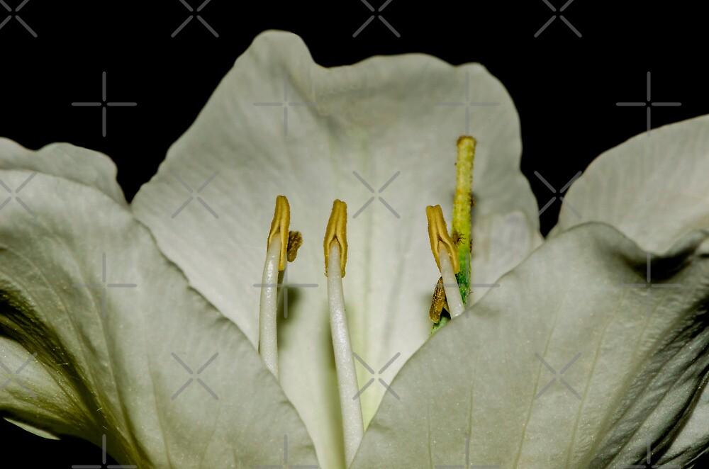 Kachnar flower by M-A-K
