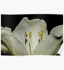 Kachnar flower Poster