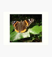 RED ADMIRAL BASKING IN THE EVENING SUN Art Print