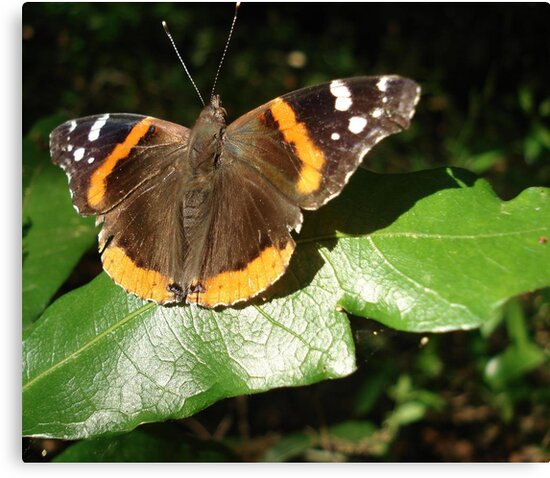 RED ADMIRAL BASKING IN THE EVENING SUN by May Lattanzio