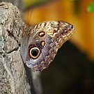 Beautiful Nocturnal Butterfly by Ralph Angelillo